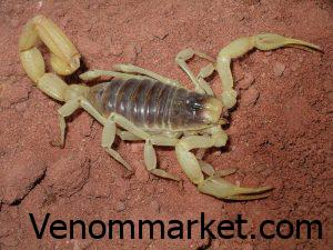 Terms of poisoning and keeping the scorpion venom