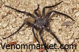 The Mouse Spider is named for it because it believed