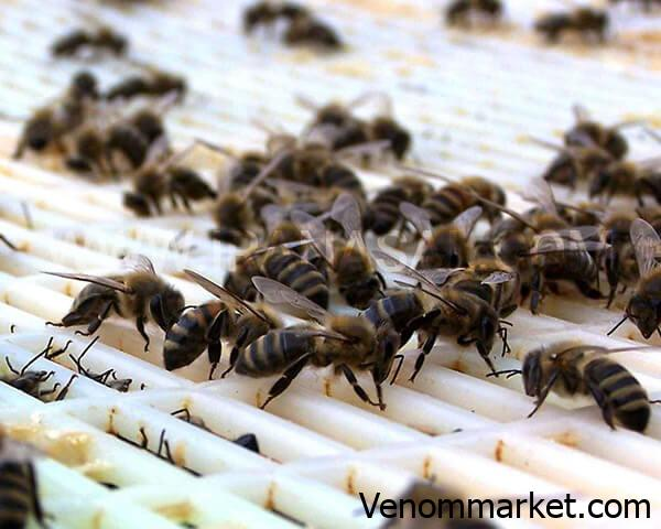 Full introduction of the queen bee