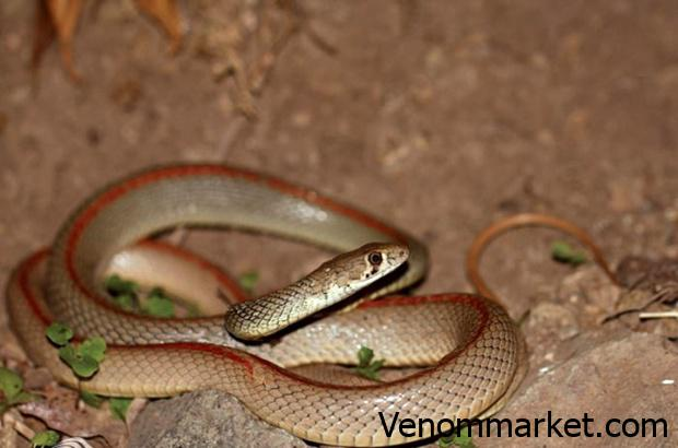 How the snake venom is used and where it is used