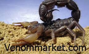 Scorpion Consulting and Commissioning, Baluchi Scorpion has a size between 40 and 55 mm