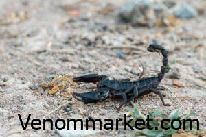 The most dangerous type of scorpion in Iran is Gardium scorpion