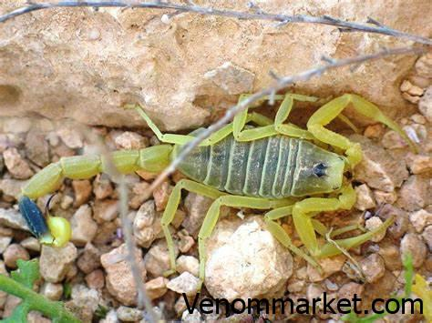 scorpion venom,venom price ,venom farming,venom drug,venom analysis,peptides ,toxin composition, ,poison price,Toxicant price, price,Sting,venomgland,scorpion venom, sale of scorpion venom,, sale and purchase of scorpion venom, Analysis of scorpion venom,taking venom of scorpion, price of scorpion venom,price of scorpion ,selling all kind of vnom seller of venom,trading venom,